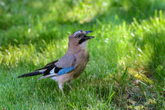 Bird Jay / Garrulus glandarius Royalty Free Stock Photo