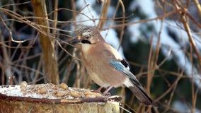 Bird jay (garrulus glandarius) Stock Images