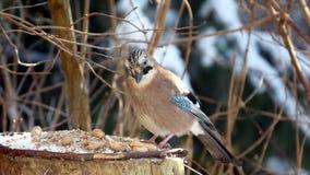 Bird jay (garrulus glandarius) Royalty Free Stock Image