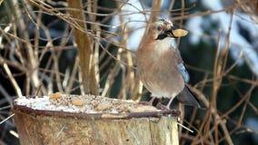 Bird jay (garrulus glandarius) Stock Photos