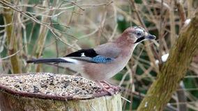 Bird jay (garrulus glandarius) Royalty Free Stock Photo