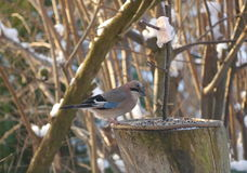 Bird jay garrulus glandarius Stock Photos