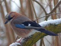 Bird jay garrulus glandarius Royalty Free Stock Images