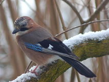 Bird jay garrulus glandarius Royalty Free Stock Photo