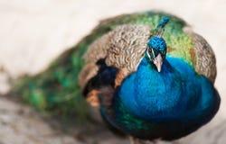 Bird of Juno or peafowl. Animal life of Asia stock image
