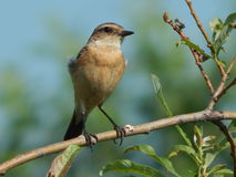 Bird Kamenka in the wild stock photo