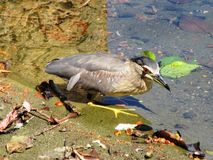 Bird in the Kandy Lake / Sri Lanka Royalty Free Stock Photo