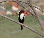 Bird : Kingfisher Stock Photos