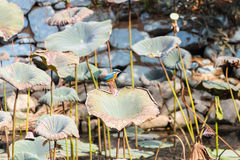 Bird - Kingfisher Stock Image