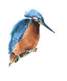 Bird kingfisher watercolor painting illustration  on white background. Bird kingfisher watercolor painting illustration  on white Royalty Free Stock Image