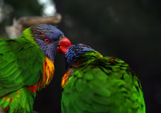 Bird kiss. Birds showing their love by kissing each other Royalty Free Stock Photos