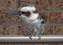 Bird kookaburra Royalty Free Stock Photos