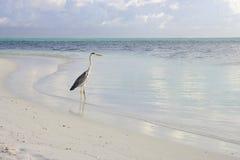 Bird in Lagoon. Bird in azure lagoon early morning Stock Images