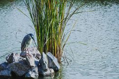 Bird on a lake. Bird perched on a stone of a lake in Lima - Peru Stock Photo
