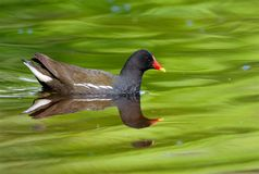 Common moorhen on a lake in , Sweden royalty free stock image