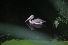 Bird. On a lake swimming Stock Photos