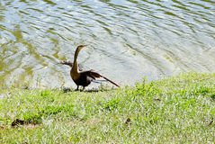 Bird and lake Royalty Free Stock Images