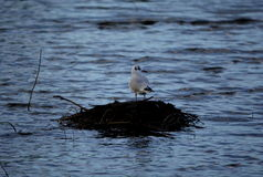 Bird in lake. Bird waiting on twig pile in lake Royalty Free Stock Image