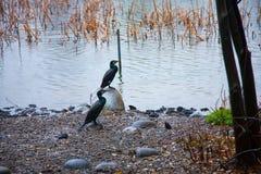 Bird on lake of water, Ueno zoo Tokyo Japan Stock Photos