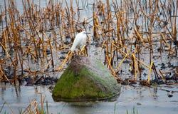Bird on lake of water, Ueno zoo Tokyo Japan Stock Image