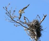 Bird landing Stock Photography