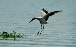 Bird landing. A bird landing Stock Images