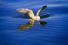 Bird landing in the water stock photo