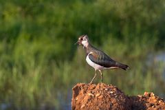 Bird the Lapwing Stock Images
