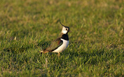 Bird - Lapwing. A lapwing in a field stock image