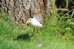 Bird lapwing Stock Photography