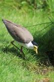 Bird lapwing Stock Image