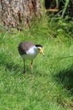 Bird lapwing Royalty Free Stock Photos