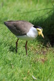 Bird lapwing royalty free stock image
