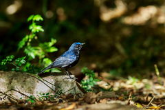 Bird,Large Niltava Stock Photography