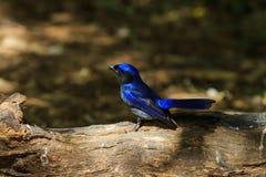 Bird,Large Niltava Royalty Free Stock Image