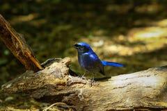 Bird,Large Niltava Royalty Free Stock Photos