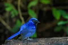 Bird,Large Niltava Royalty Free Stock Photo