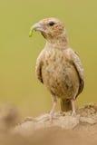 Bird Lark Stock Photo