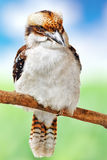 Bird - Laughing Kookaburra. Royalty Free Stock Photo