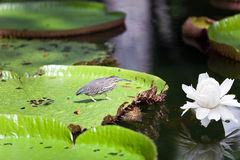 Bird on a leaf Victoria amazonica. Victoria regia Stock Photography