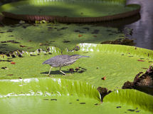 Bird on a leaf Victoria amazonica ( Victoria regia) Stock Photos