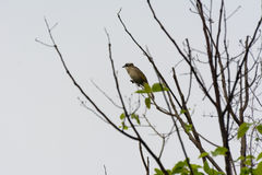 Bird on leafless tree. A lonely light-vented Bulbul bird on a leafless tree stock images
