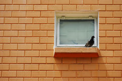 Bird On The Ledge. A photo taken on a pigeon bird resting on a window ledge Royalty Free Stock Photography