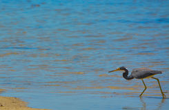 A Tricolored Heron (Egretta tricolor) at the Lemon Bay Aquatic Reserve in Cedar Point Environmental Park, Sarasota. A Tricolored Heron (Egretta stock photography