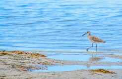 A Bird at the Lemon Bay Aquatic Reserve in Cedar Point Environmental Park, Sarasota County Florida. A bird feeding in tide pools at the Lemon Bay Aquatic Reserve royalty free stock photo