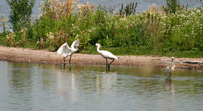Bird Lepelaar. Water Birds searching for food Royalty Free Stock Photo