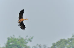 Bird, lesser whistling duck flying Royalty Free Stock Images