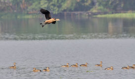 Bird, lesser whistling duck flying Stock Image