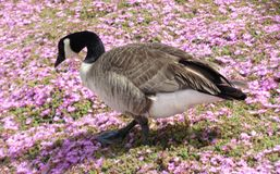 Bird life at Monterrey Bay area. This is in a beautiful setting of flowers, and bird life, near Monterrey Bay. he's looking totally at home Stock Photos