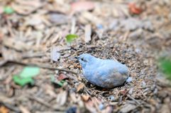 Bird, light blue quail Royalty Free Stock Images